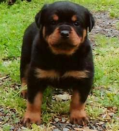 Windy River Ranch Rottweiler We Breed Akc Import Champion Line