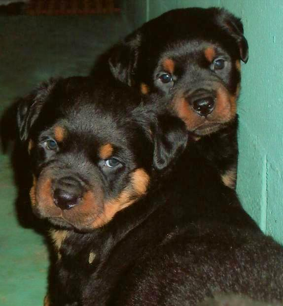 WINDY RIVER AKC ROTTWEILERS Available Puppies