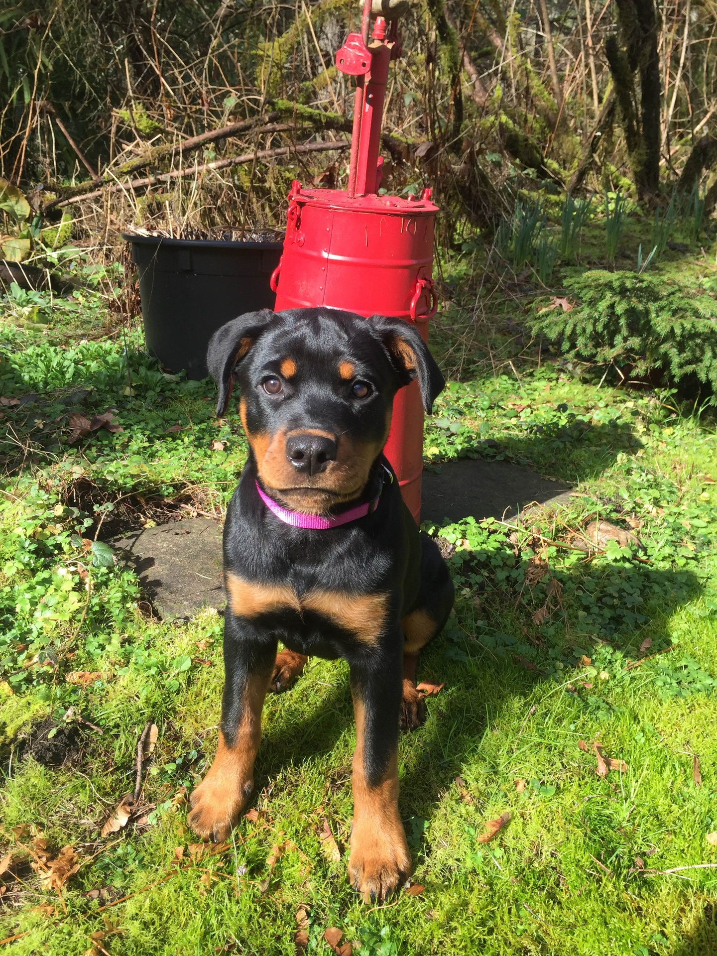 Windy River Ranch Rottweilers - ***Past Puppies***